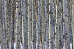 Stock photo of a stand of Aspen trees between Pyramid Lake and Patricia Lake near the town of Jasper, Jasper National Park, Canadian Rocky Mountains, Alberta, Canada.
