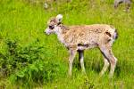 Stock photo of a very young Bighorn Sheep Lamb surrounded by green grass in Banff National Park, Province of Alberta, Canada.