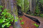 Stock photo of the boardwalk that winds along the Rainforest Trail between two western redcedar trees in the coastal rainforest of Pacific Rim National Park, Long Beach Unit, West Coast, Vancouver Island, British Columbia, Canada.