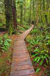 Stock photo of the boardwalk winding along the Rainforest Trail in the coastal rainforest of Pacific Rim National Park, Long Beach Unit, West Coast, Vancouver Island, British Columbia, Canada.
