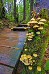 Stock photo of boardwalk trail in rain forest in Maquinna Marine Provincial Park to Hot Springs Cove.