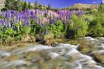 Stock photo of bright and colorful lupins growing wild on the banks of the Cardrona River along the Crown Range Road, Central Otago, South Island, New Zealand.