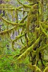Stock photo of a bright green moss covering tree branches in the rain forest along the trail to Hot Springs Cove, Openit Peninsula, Maquinna Marine Provincial Park.