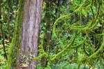 Stock photo of moss covered tree branches and the trunk of a western red cedar tree, Thuja plicata, during fall in the rain forest of Goldstream Provincial Park, Victoria, Southern Vancouver Island, Vancouver Island, British Columbia, Canada.