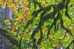 Stock photo of a moss covered branches and golden leaves during fall in the rain forest of Goldstream Provincial Park, Victoria, Southern Vancouver Island, Vancouver Island, British Columbia, Canada.