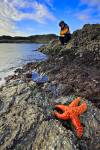 Stock photo of an Ochre Sea Star on a rocky outcrop in the foreground, with a woman perched at the water's edge looking into the water for sea life on South Beach in Pacific Rim National Park, Long Beach Unit, Clayoquot Sound UNESCO Biosphere Reserve, Wes