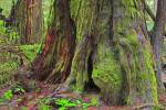 Stock photo of the moss-covered base of a large western redcedar tree (western red cedar), Thuja plicata, along the Rainforest Trail in the coastal rainforest of Pacific Rim National Park, Long Beach Unit, Clayoquot Sound UNESCO Biosphere Reserve, West Co
