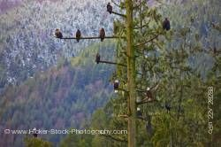 Bald Eagles Tree Winter Beaver Cove Northern Vancouver Island British Columbia Canada