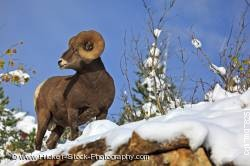 Bighorn sheep ram winter Waterton Lakes National Park in Alberta Canada