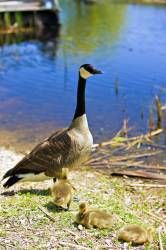 Canadian Goose at the Marsh Boardwalk in Point Pelee National Park Leamington Ontario, Canada