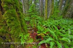 Moss Covered Trees and Ferns Cathedral Grove Rainforest MacMillan Provincial Park Vancouver Island