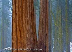 Trees Sequoia National Park California USA North America