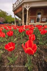 Red tulips Prince of Wales Hotel (built in 1864) in the town of Niagara-on-the-Lake Ontario Canada