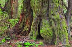 Western Red Cedar Tree Pacific Rim National Park Vancouver Island British Columbia Canada