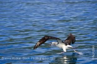 Stock photo of an Albatross during a dolphin watching tour with Encounter Kaikoura, Kaikoura, East Coast, South Island, New Zealand.