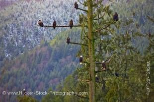 Stock photo of at least ten bald eagles perched in a tall tree during winter near Beaver Cove on Northern Vancouver Island in British Columbia, Canada.