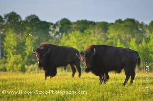 Stock photo of two magnificent bison standing in a field where they are free to roam in the bison enclosure in Riding Mountain National Park, Manitoba, Canada.