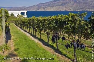 Stock photo of rows of grapevines at Bonitas Winery, Summerland, Okanagan-Similkameen Region, Okanagan, British Columbia, Canada.