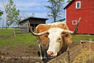 Stock photo of a long-horned bull eating hay in a pen beside the farm barn at the Mennonite Heritage Village in Steinbach, Manitoba, Canada.