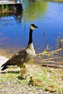 Stock photo of Canadian Goose and three goslings, Branta canadensis, at the Marsh Boardwalk in Point Pelee National Park, Leamington, Ontario, Canada.