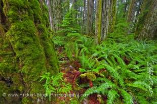 Stock photo of ferns among moss covered trees in the Cathedral Grove Rainforest in MacMillan Provincial Park on Vancouver Island in British Columbia, Canada. Cathedral Grove in MacMillan Provincial Park is an excellent resource for experiencing the lush w