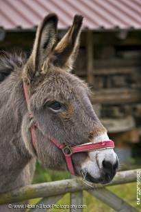 Stock photo of Donkey at Hessenpark (Open Air Museum), Neu-Anspach, Hessen, Germany, Europe.