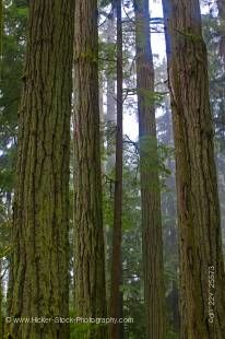 Stock photo of tall straight Douglas Fir trees (Pseudotsuga menziesii) in the Cathedral Grove Rainforest, MacMillan Provincial Park, Vancouver Island, British Columbia, Canada.