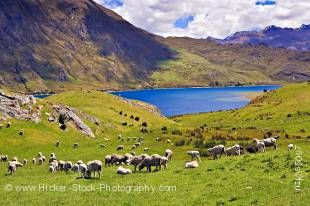 Stock photo of sheep farmland on the banks of Lake Hawea, Central Otago, South Island, New Zealand.