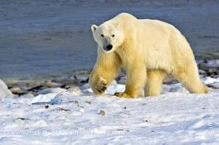 Stock photo of Polar Bear, Ursus maritimus, on the icy fringes of Hudson Bay, Churchill, Manitoba, Canada.