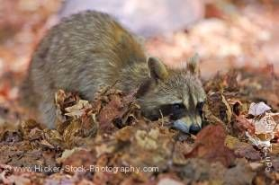 Stock photo of a cute raccoon, Procyon lotor, foraging in the dry leaves on the shores of George Lake, Killarney Provincial Park, Ontario, Canada.