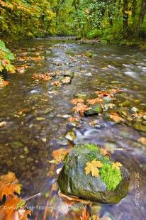 Stock photo of a boulder with a tuft of moss and golden leaves during fall in the Goldstream River in the rainforest of Goldstream Provincial Park, Victoria, Southern Vancouver Island, Vancouver Island, British Columbia, Canada.