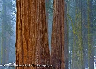 Stock photo of trees in Sequoia National Park, California, USA, North America.