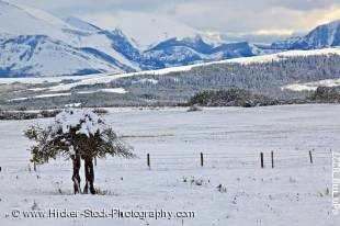 Stock photo of snow covered tree in a field back dropped by the Rocky Mountains of Waterton Lakes National Park, Alberta, Canada.