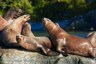 Stock photo of Steller Sea Lions (Eumetopias jubatus) in the Broughton Archipelago near Fife off the northern British Columbia coast in Canada. Also known as Steller's sea lion, Northern sea lion.