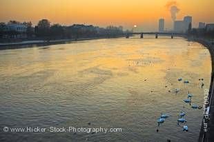 Stock photo of beautiful white swans on the Main River at sunset back dropped by the city of Frankfurt, Hessen, Germany, Europe.