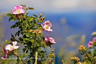 Stock photo of the Sweet Briar, Rosa rubiginosa, on the shores of Lake Wanaka, Central Otago, South Island, New Zealand.