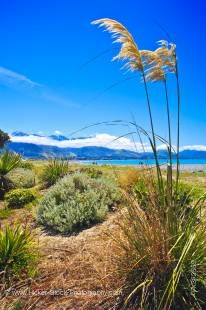 Stock photo of the Toi Toi plants along the Kaikoura Beach, Kaikoura, East Coast, South Island, New Zealand.