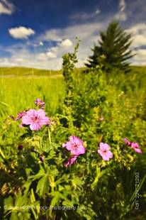 Stock photo of wild flowers (wild rose, Rosa acicularis) growing on the banks of the Elkwater Lake in the town of Elkwater, Cypress Hills Interprovincial Park, Alberta, Canada.