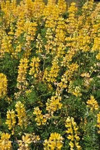 Stock photo of the Yellow Tree Lupins, Lupinus arboreus, Lake Hawea, Central Otago, South Island, New Zealand.