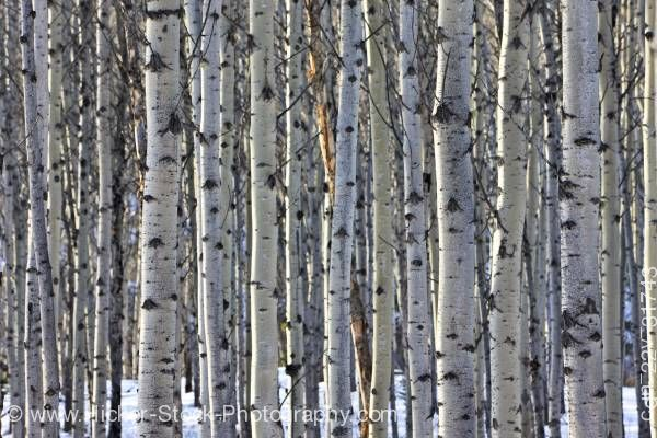 Stock photo of Stand of Aspen Trees between Pyramid Lake and Patricia Lake near Jasper Jasper National Park Canada