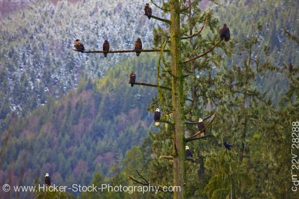 Stock photo of Bald Eagles Tree Winter Beaver Cove Northern Vancouver Island British Columbia Canada