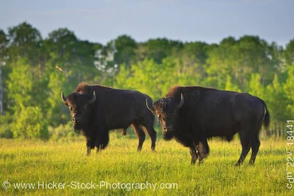 Stock photo of Two Bison in Riding Mountain National Park Manitoba Canada