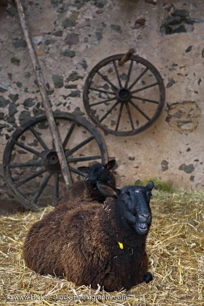 Stock photo of Black sheep medieval markets Ronneburg Castle Germany