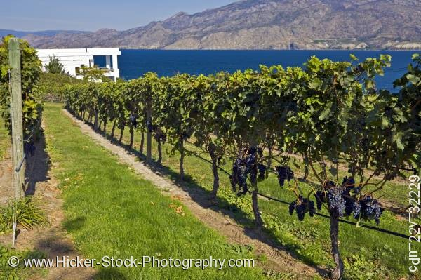 Stock photo of Rows grapevines Bonitas Winery Summerland Okanagan Canada