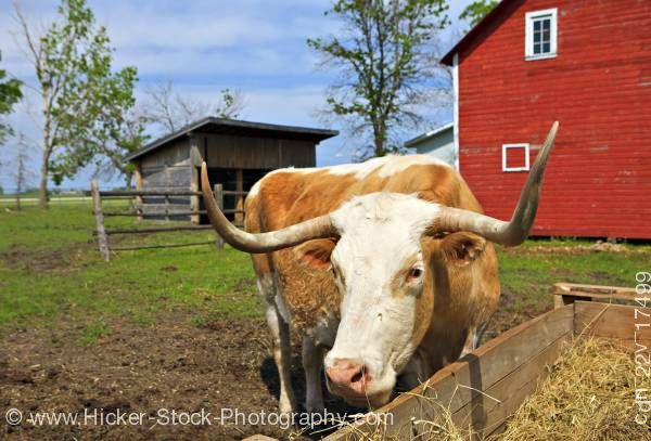 Stock photo of Grazing Bull Beside Barn at Mennonite Heritage Village Steinbach Manitoba Canada