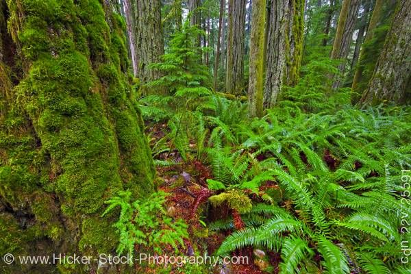 Stock photo of Moss Covered Trees and Ferns Cathedral Grove Rainforest MacMillan Provincial Park Vancouver Island
