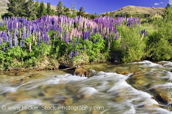 Stock photo of Lupins Cardrona River along the Crown Range Road Central Otago South Island New Zealand