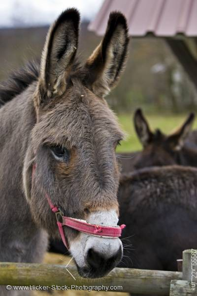 Stock photo of Cute Donkey Hessenpark Germany Europe