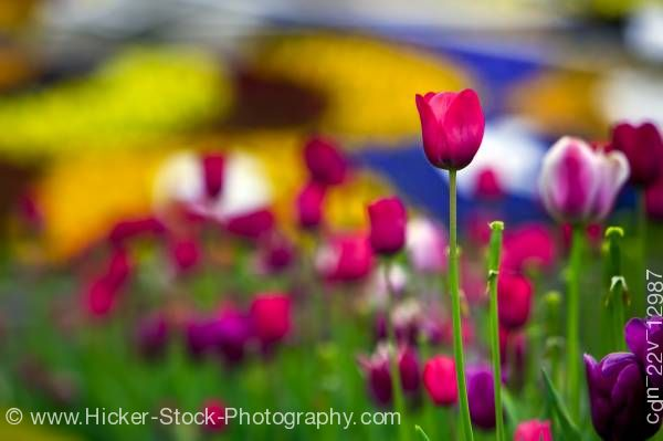 Stock photo of Tulips Niagara Parks Floral Clock along the Niagara River Parkway Queenston Ontario Canada