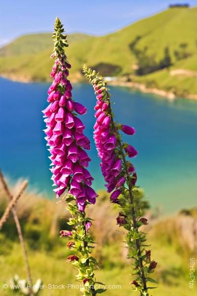 Stock photo of Foxglove Digitalis purpurea Titirangi Bay New Zealand